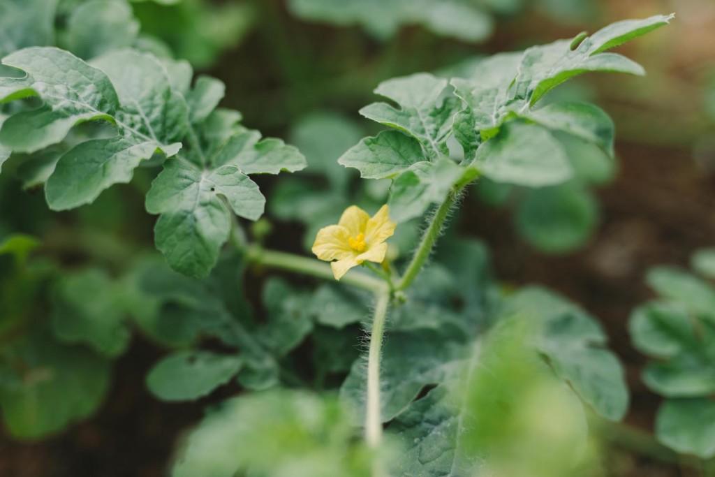 スイカの花
