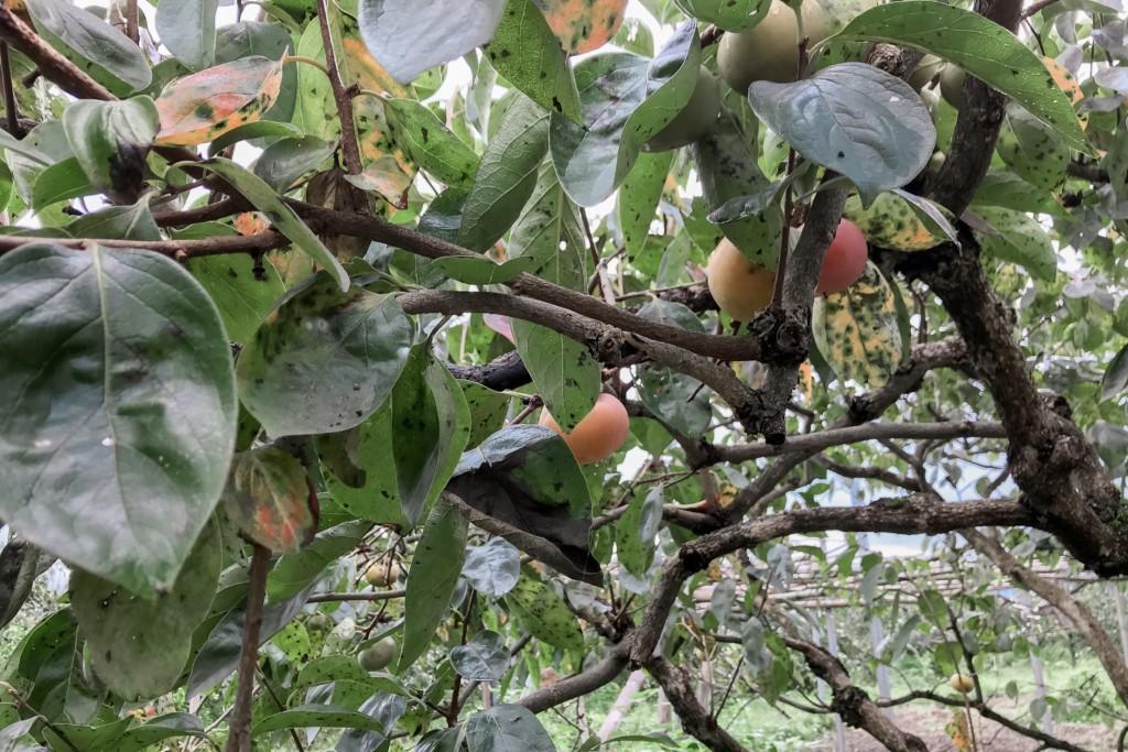 柿のグラデーション