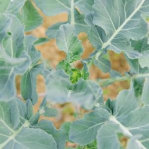 【畑週報#7】ブロッコリーの花蕾が出てきました