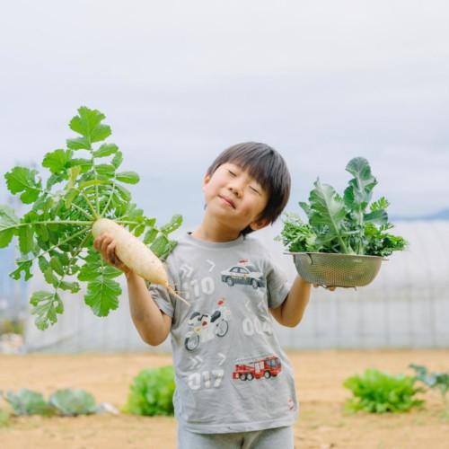 大根と春菊の収穫